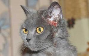 Причина крови из ушей у кота