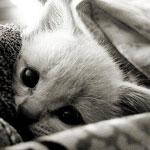 Признаки кошачьего гриппа и методы лечения заболевания