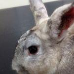 Псороптоз кроликов
