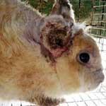Болезни ушей у кроликов