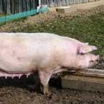 Кормление и содержание супоросных свиноматок