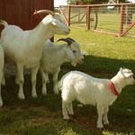 Содержание козы в хозяйстве без выпаса