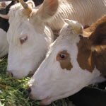Разведение крупного рогатого скота новые технологии