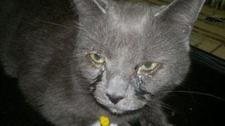 У кошки гноятся глаза – что делать? — Кот Обормот