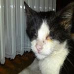 Гноится глаз у кошки, что делать? Почему у кошки гноятся глаза