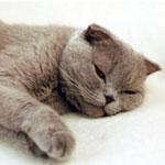 Гастрит у кота: симптомы и лечение, чем кормить