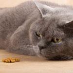 У кошки пропал аппетит, причины, что делать, профилактика Ветеринарная служба Владимирской области