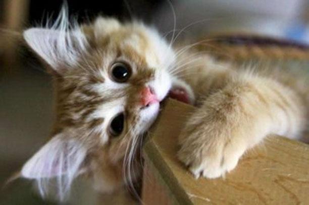 Смена зубов у кошек