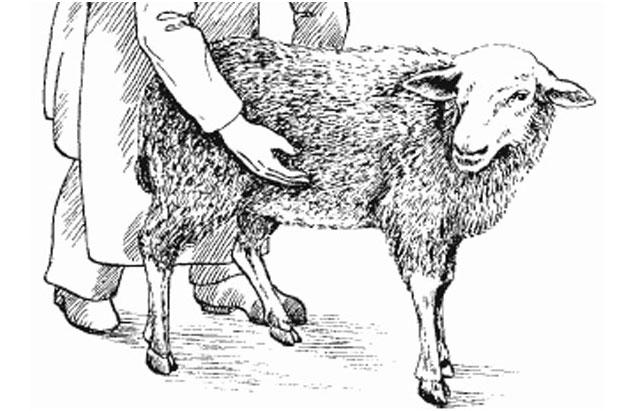 Беременность у овец