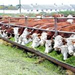 Откорм бычков на мясо в домашних условиях: эффективный рацион