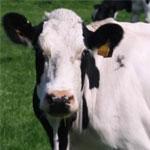 Кормление высокопродуктивных коров
