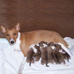 Кормление лактирующей собаки