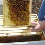 Осмотр пчелиных семей