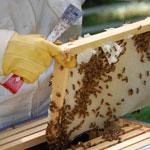 Правила отбора и пересылки патологического материала с пчеловодческих пасек.