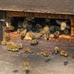 Хронический вирусный паралич пчел
