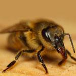 Острый паралич пчел