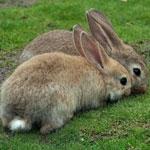 Пастереллез кроликов.