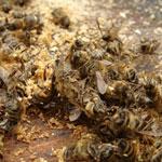 Септицемия пчел