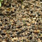 Коллапс пчелиных семей.
