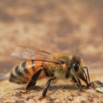 Алиментарная диарея пчел.
