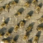Малоизученные болезни пчел.
