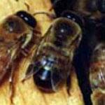 падевый токсикоз пчел