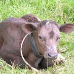 Пастереллез крупного рогатого скота