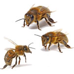 Углеводная дистрофия у пчел