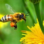Малоизученные инвазионные болезни пчел