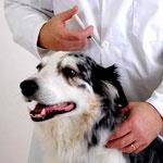 Лептоспироз собак