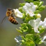 Нектарный токсикоз пчел