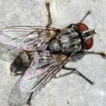 Сенотаиниоз пчел