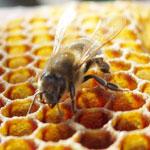 Химический токсикоз у пчел