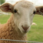 Острая тимпания рубца у овец