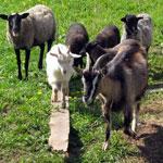 Атония и гипотония преджелудков у коз и овец