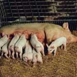 Катаральный мастит свиноматки