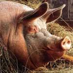 Остный гнойно-катаральный мастит у свиноматки.