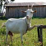 Катаральный мастит у коз