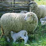 Маститы у овец
