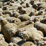 профилактика маститов у овец