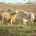 разновидности маститов у овец