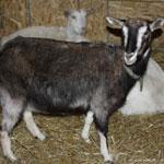 Содержание и кормление молочных коз