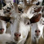 Значение козоводства