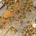 Органы размножения пчелиных маток