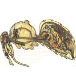 Пищеварение и обмен вечеств у пчел