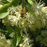 Лесные медоностные растения (клен)