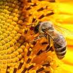 Полевые сельскохозяйственные культуры используемые в пчеловодстве