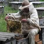Размножение пчелиных семей