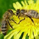 Улучшение кормовой базы пчел.