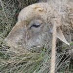 Баразот овец